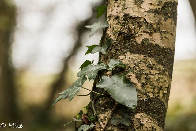 Ivy starting to climb a silver birch