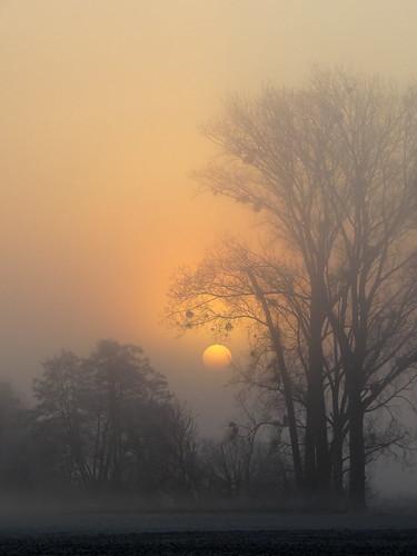 mist weather fog sunrise poplar nebel sonnenaufgang wetter pappel laubbaummistel deciduoustreemistletoe