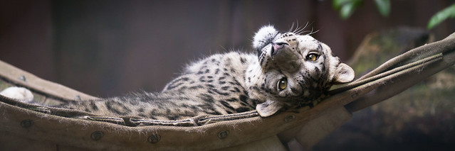 funny snow leopard