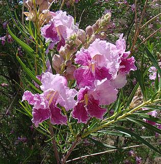 Chilopsis linearis--  the Desert Willow