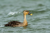 Spot-billed duck #120 by Ramakrishnan R - my experiments with light