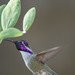 Desert Hummingbird