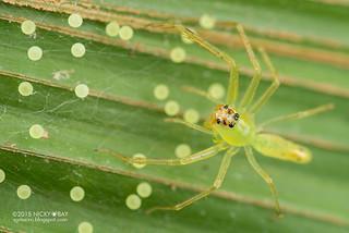 Jumping spider (Lyssomanes sp.) - DSC_7304