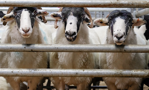 For sale: Rough Fell sheep | by billplumtree
