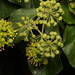Flickr photo 'Hedera helix subsp. helix (Araliaceae)' by: georgeoide.