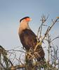 Crested Caracara (Caracara cheriway) - Fellsmere, Florida by JFPescatore