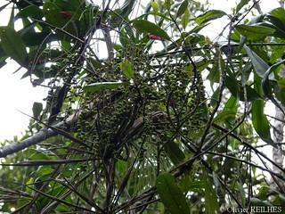 Dypsis nodifera   by olivier.reilhes