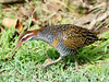 Buff-banded Rail (Gallirallus philippensis) by David Cook Wildlife Photography