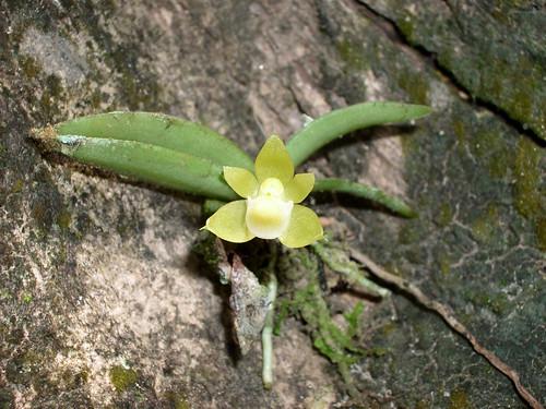 orchid insitu orchidspecies chroniochilus