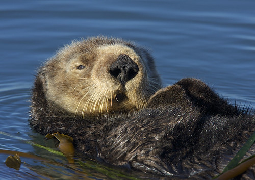 "S. Sea Otter (Enhydra lutris) | by Gregory ""Slobirdr"" Smith"