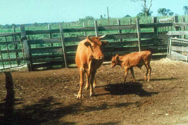 Tue, 01/20/2015 - 04:18 - Species name: Cattle (photo credit: ILRI).
