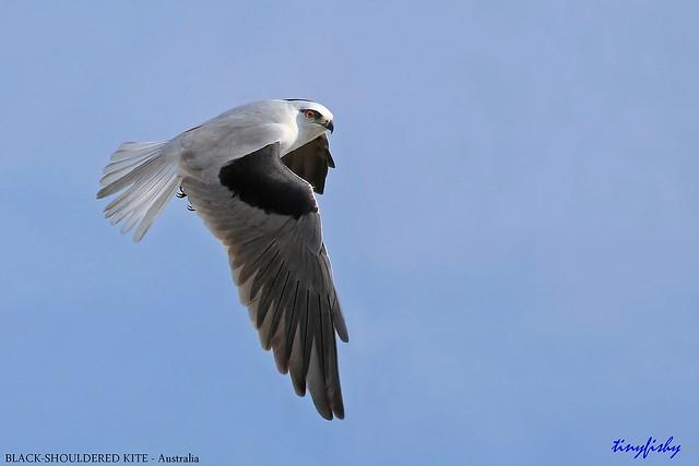Improved : Black-Shouldered Kite - [ Princetown, Australia ]