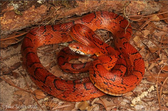 Corn Snake (Pantherophis guttatus) (Explored)