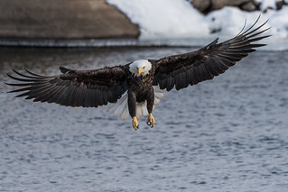 Eagle-Landing | by dan@dgrphotos.com