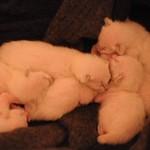 Bluebelle's kittens Dec 2014 Week One 5