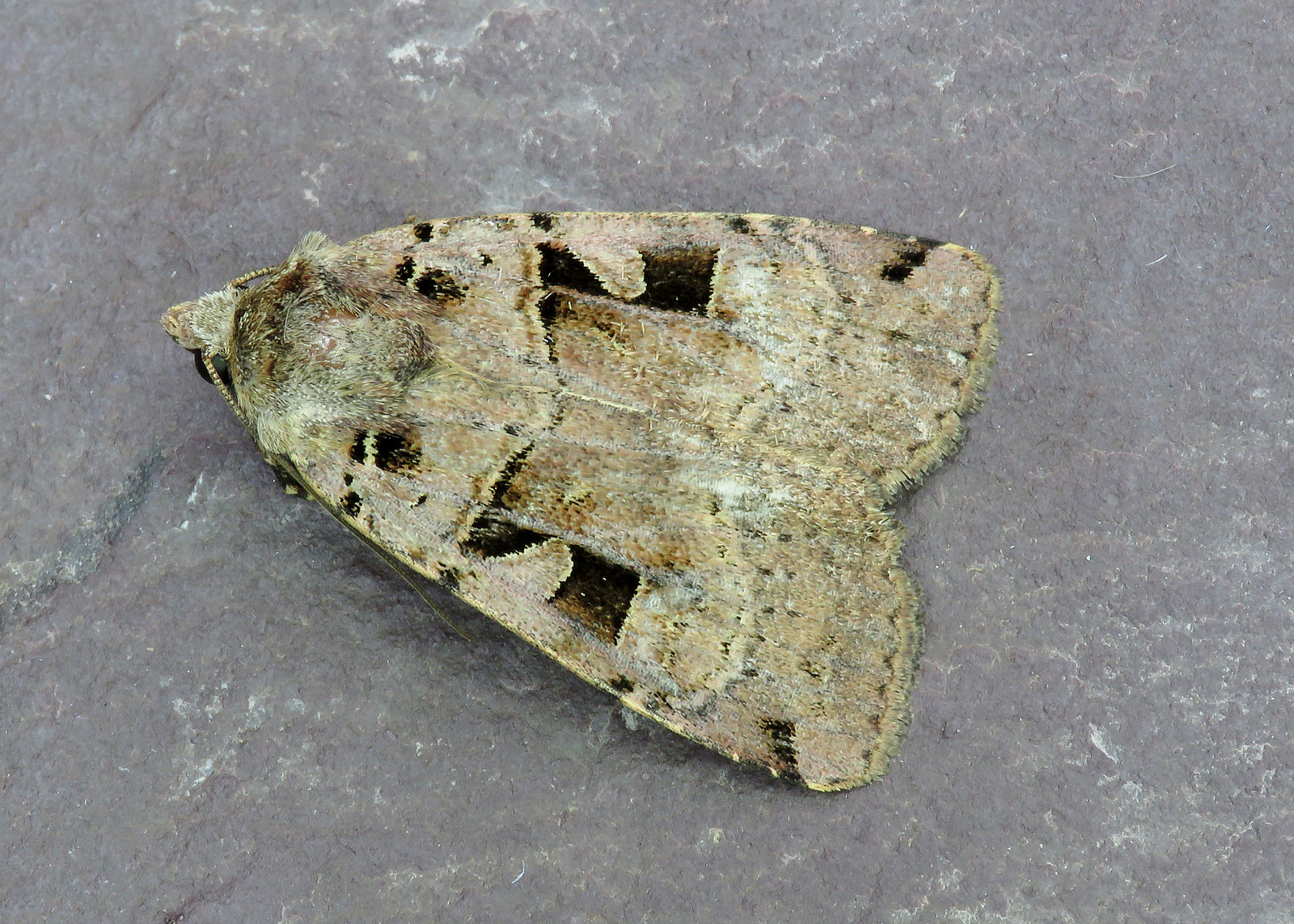 73.361 Double Square-spot - Xestia triangulum