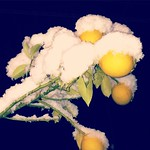 レモンの木が雪で折れそうやw