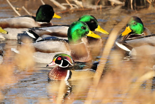 Wood Duck Drake and Green headed Mallards | by USFWS Mountain Prairie