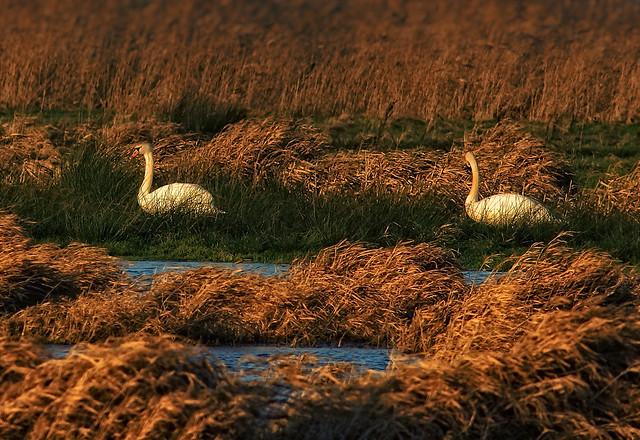 Swans in reed landscape