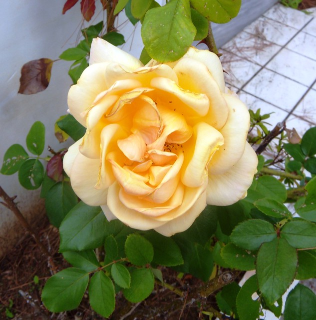 Yellow rose smiling
