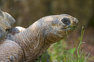 Big old tortoise eating | by Tambako the Jaguar