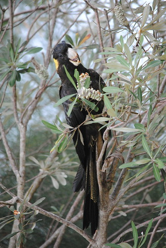 Yellow tailed black cockatoo, USC Sippy Downs