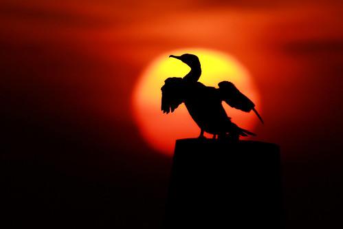 sun bird nature sunrise kent wildlife cormorant hythe bej