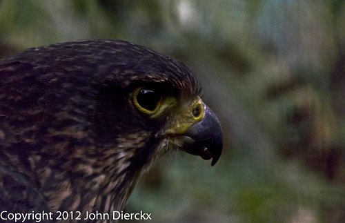 Hawk   by johndierckx