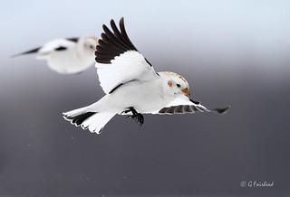Snow Bunting In Flight | by Gary Fairhead