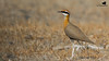 Indian Courser-4164 by Rudy_Whistlingtrails
