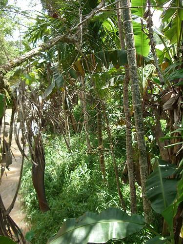 orchid insitu orchidspecies luisia