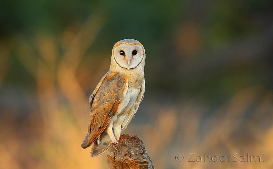 The Barn Owl | Barn owls are relatively common throughout ...