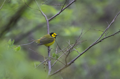 Hooded Warbler | by Birding In New Jersey