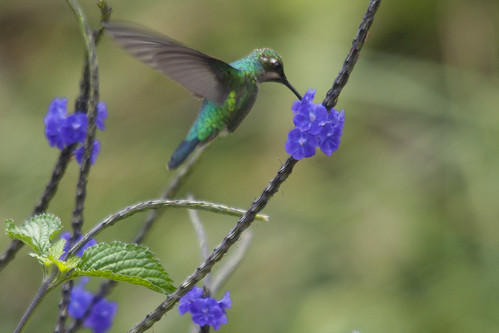 Western emerald hummingbird -female- on blue rat's tail | by PriscillaBurcher