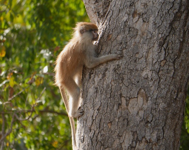 Callithrix Monkey or Green Monkey
