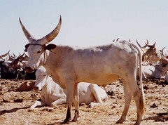 mar, 01/20/2015 - 04:18 - Species name: Cattle (photo credit: ILRI).