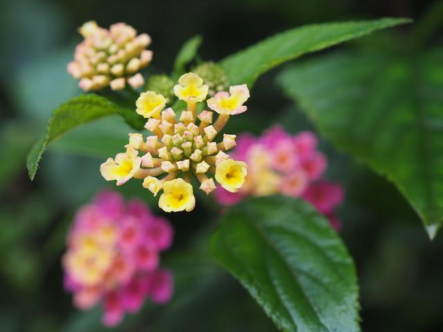 India Wild Flower Lantana Camara Wandelröschen Wildblume (c)