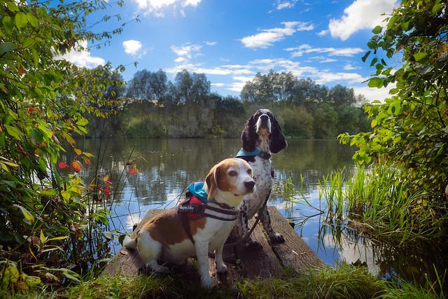 Beagle & spaniel by the UEA lake...
