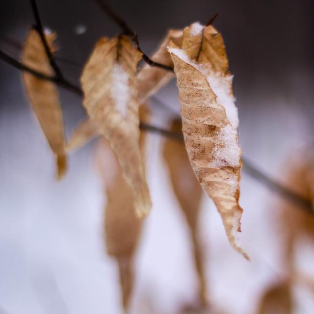 Les feuilles et la neige
