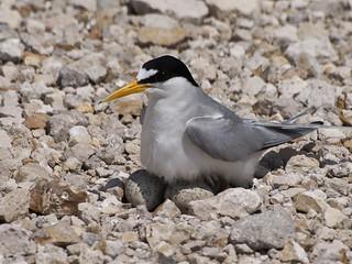 Nesting Least Tern   by vladeb