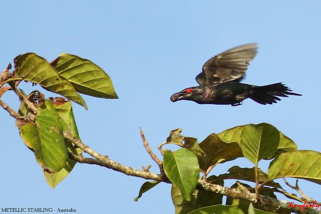 (784) Male Metallic Starling - [ Daintree  National Park,  Australia ]