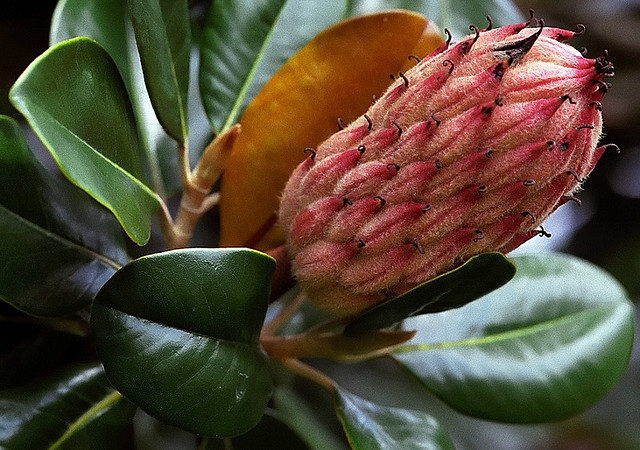 "Cincinnati – Spring Grove Cemetery & Arboretum ""Southern Magnolia - Seedpod"""