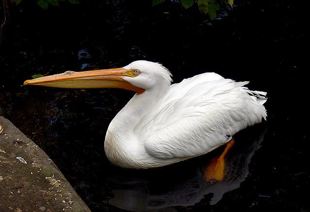 American White Pelican.Calgary Zoo.