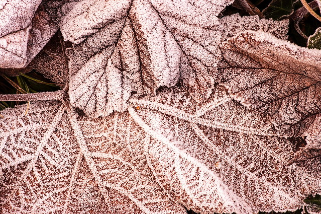 2011-12-bc-pa-frosted leaves-9039