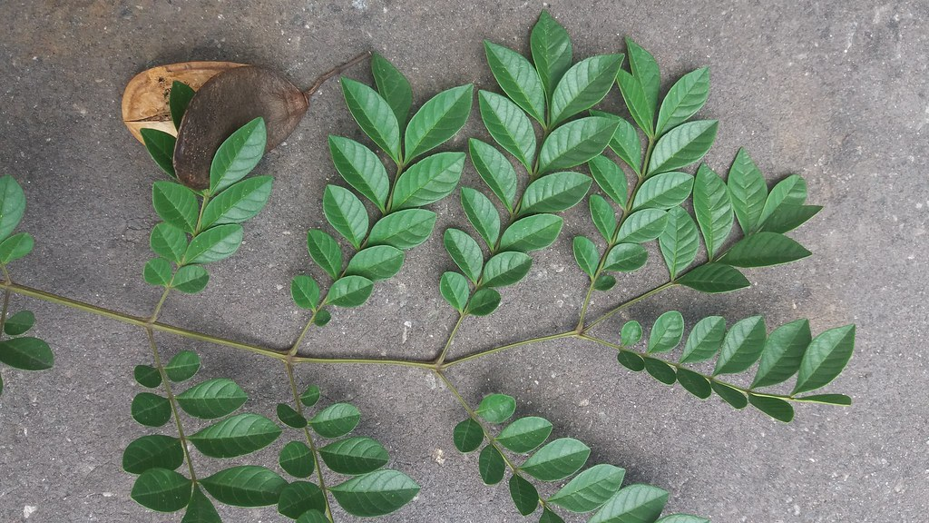 Jacaranda copaia (Aubl.) D.Don