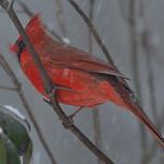 Cardinal ...........