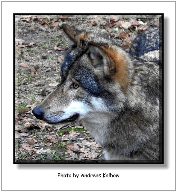 Andreas Kalbow Wolf Canis lupus Olderdissen (1)