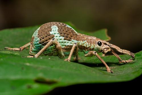 Danum Jungle Weevil   by antonsrkn