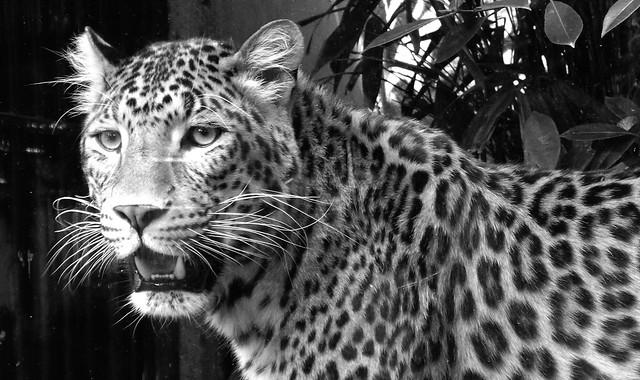 Chinese panther, B&W