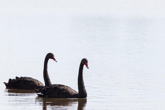 Bizarro Swans